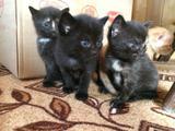 Рыжие и трехцветные котята в дар
