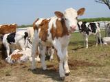Телята бычки 1-3месяца
